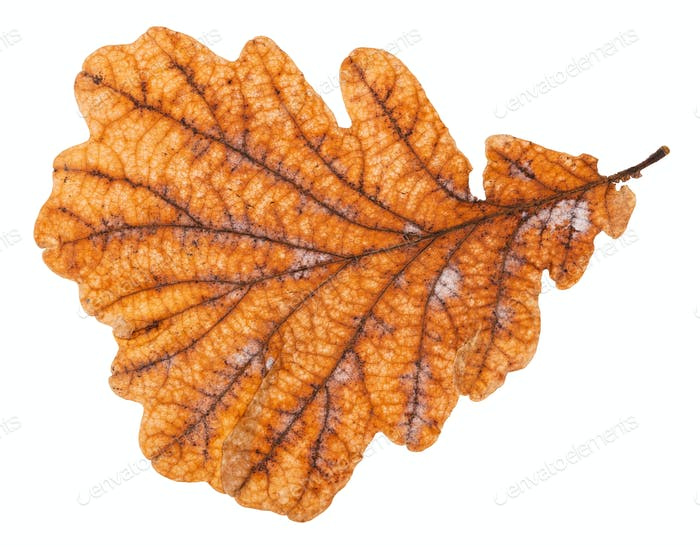 back side of autumn rotten leaf of oak tree