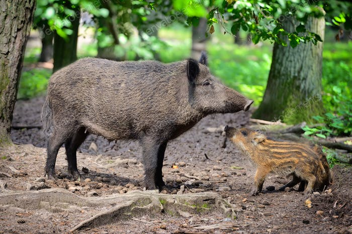 Wild boar family, mother with little striped piglet walking in t