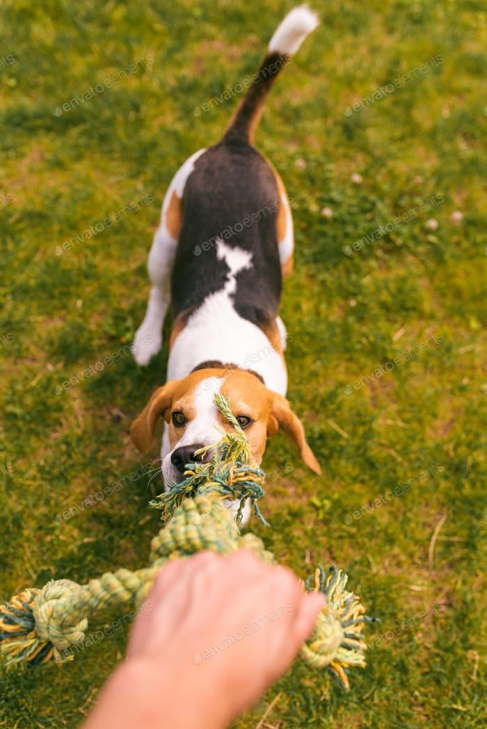 Dog beagle Pulls a rope and Tug-of-War Game with owner