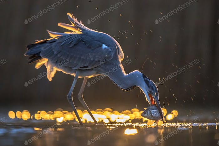 Silhouette of Grey heron catching fish at night