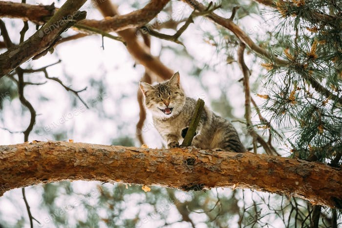Screaming Meowing Adult Cat On A Pine Tree Branch At Spring Seas