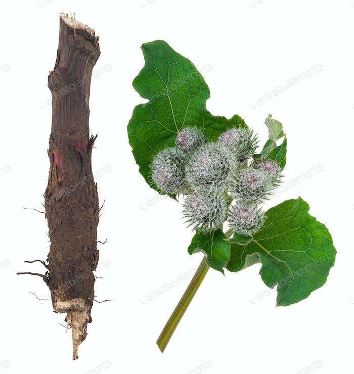 Heilpflanze: Klette
