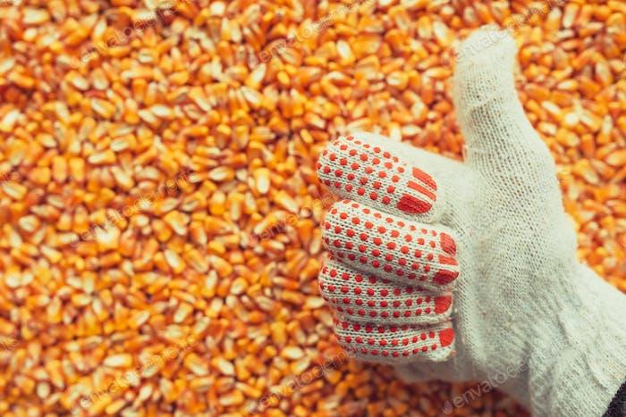 Satisfied farmer gesturing thumbs up over harvested corn kernels