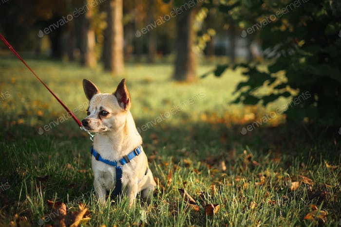 Little chihuahua in the park