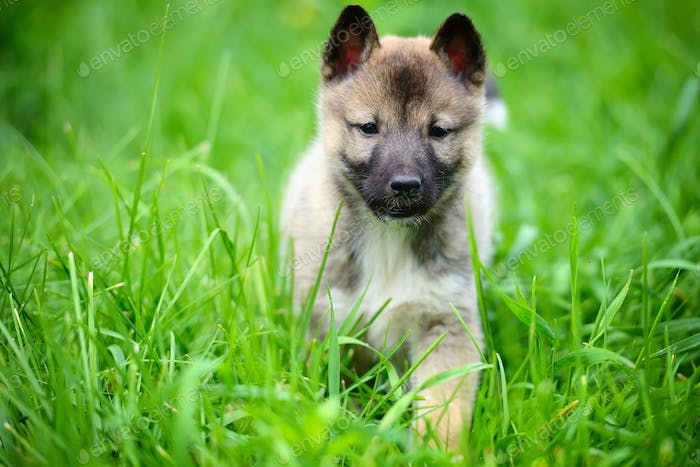 A beautiful Siberian Laika puppy on the grass