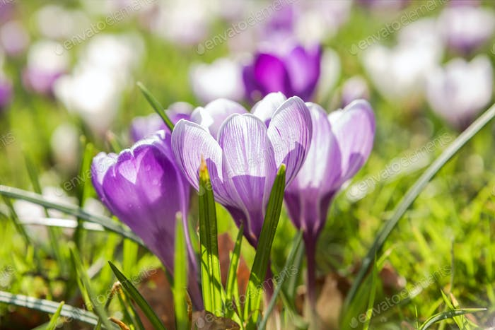 beautiful purple crocus flowers in sunshine