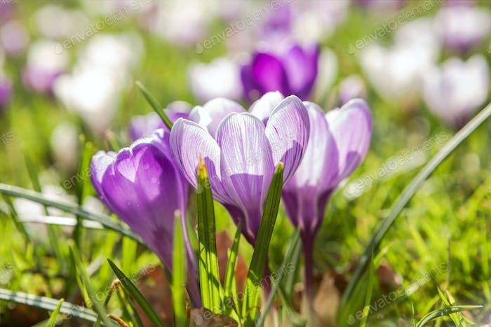 beautiful purple crocus flowers in sunshine