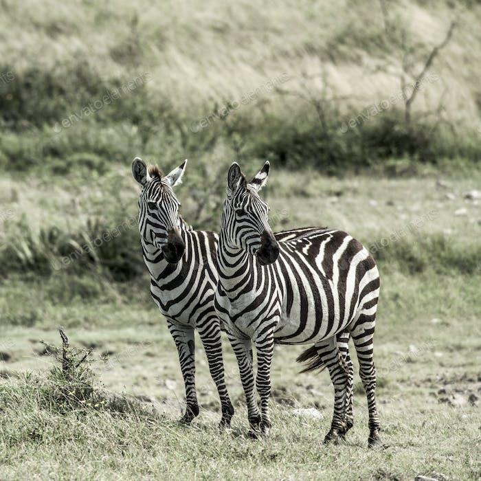 Two zebras, Serengeti, Africa