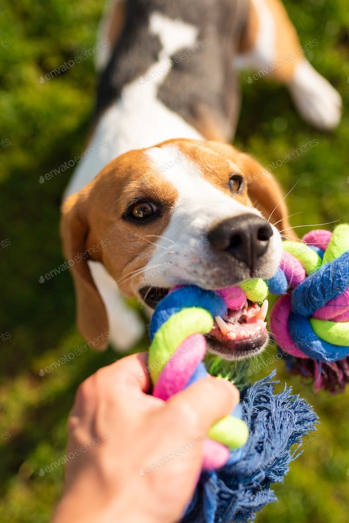 Dog beagle Pulls Toy and Tug-of-War Game.