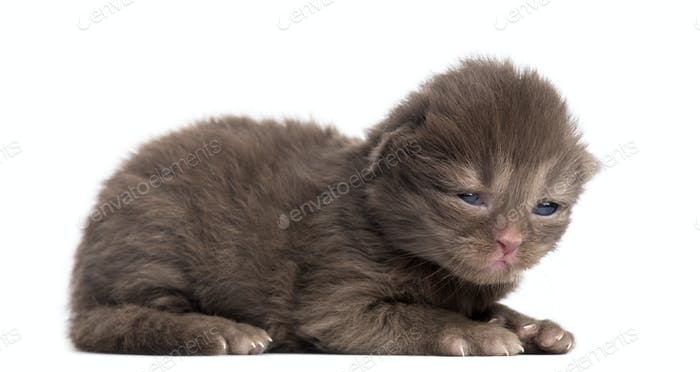 Side view of a Highland straight or fold kitten lying, 1week old, isolated on white