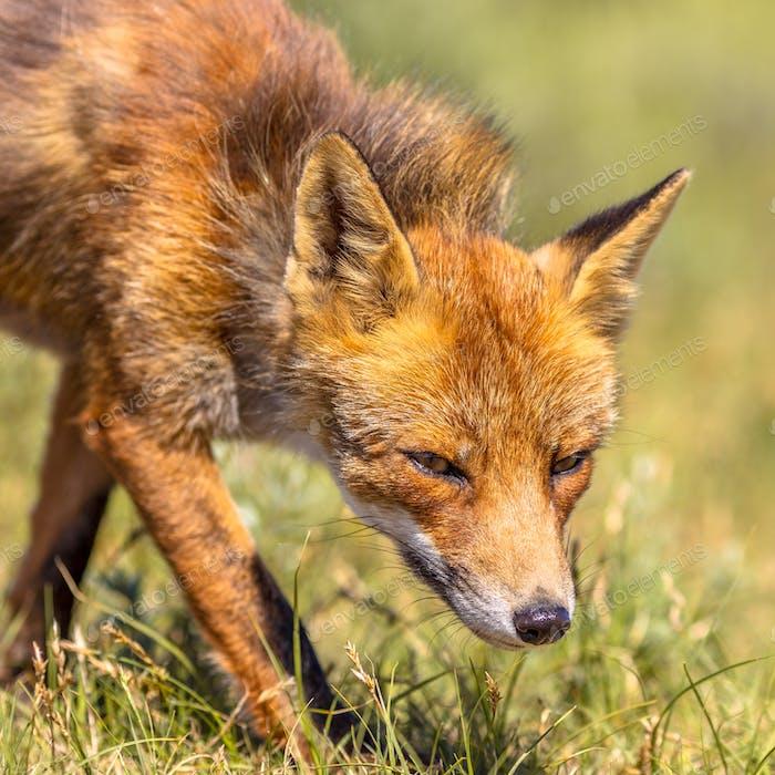 Red Fox sneaky portrait