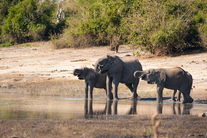 Group of elephants drinking