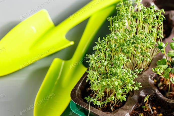 Verschiedene Arten von Microgreens