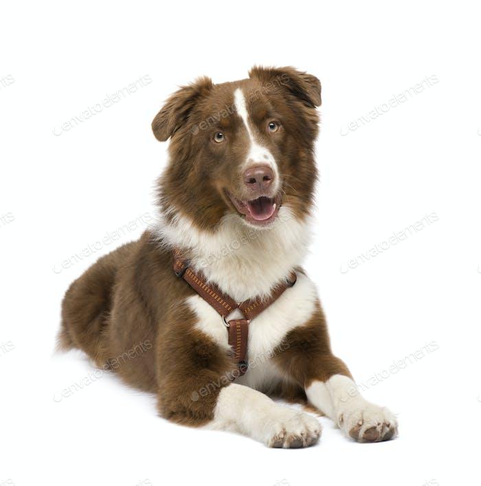 australischer Schäferhund (18 Monate)