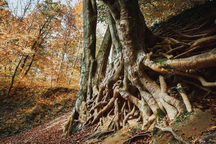 Old big tree roots autumn forest
