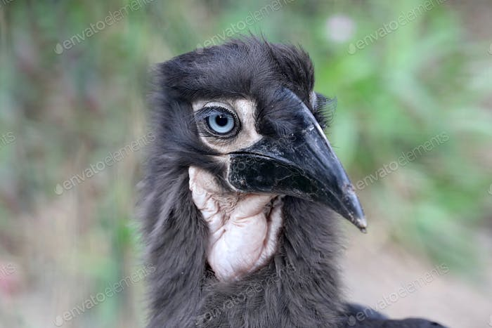 Young Southern ground hornbill close up shot