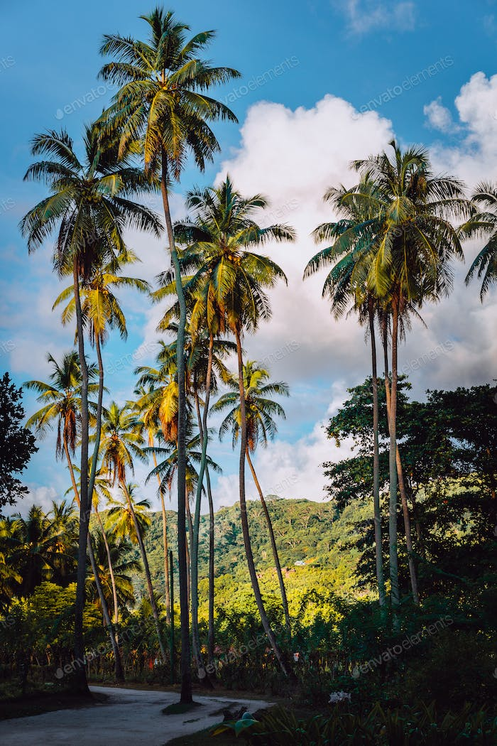 Picturesque road among vanilla plantation with coconut trees, La Digue, Seychelles. Warm sunset