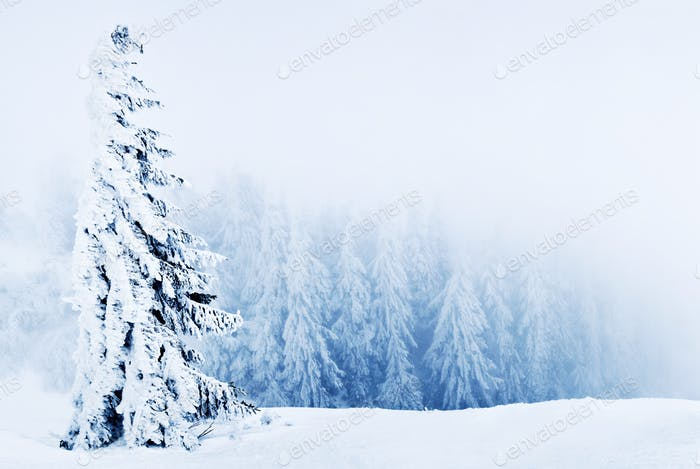 Beautiful snowy spruce trees inclined