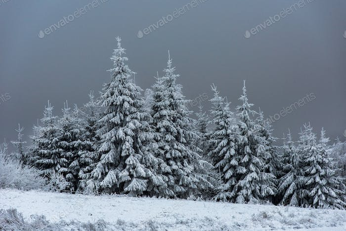 Beautiful snowy fir trees in the mountains