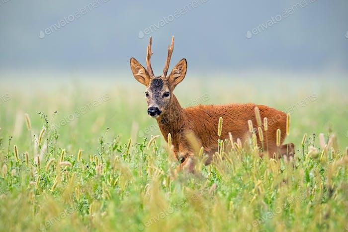 Roe deer buck walking in tall grass in summer