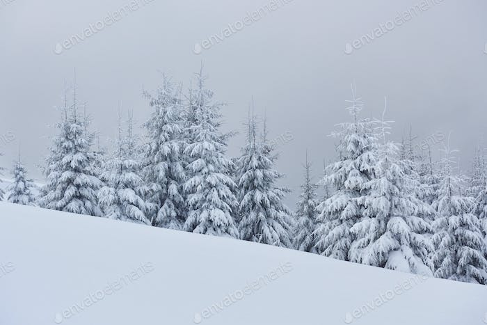 Morning winter calm mountain landscape with beautiful frosting fir trees and ski track thrue