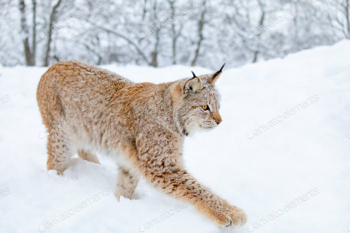 Close-up of lynx cat walking in the cold winter forest