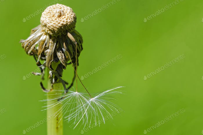 Dandelion with seeds on a blurred background