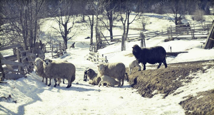 Sheep in Romanina countryside