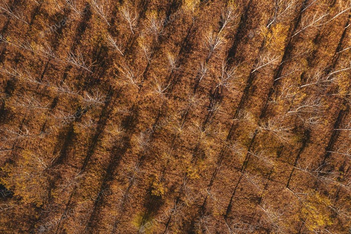 Aerial top view of cottonwood forest in autumn