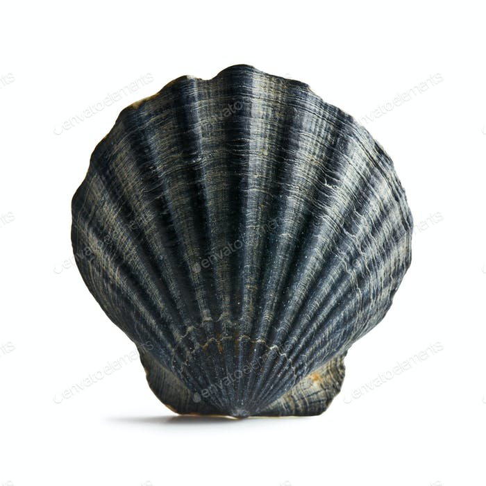 black sea shell