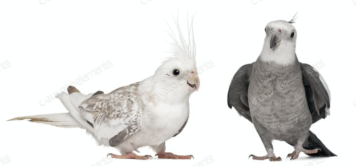 Male and female Cockatiel, Nymphicus hollandicus, in front of white background