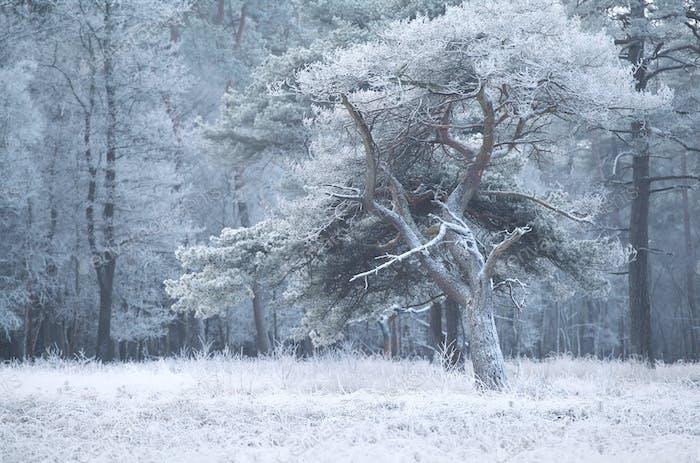 pine tree in winter frost