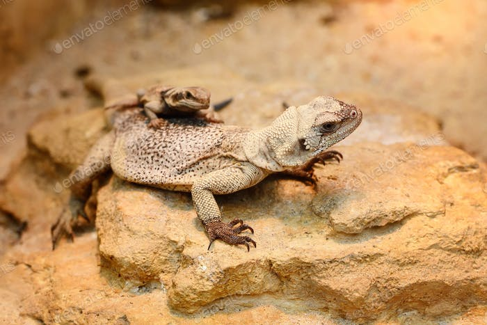 Common Chuckwalla (Sauromalus ater) sitting on stones