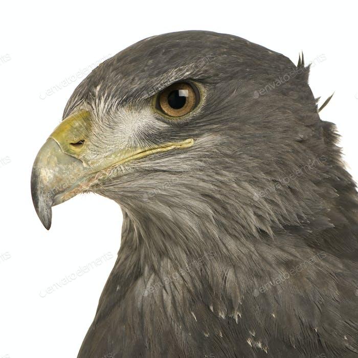 Black-chested Buzzard-eagle () - Geranoaetus melanoleucus