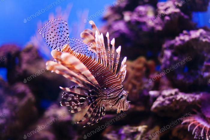Red lionfish Pterois miles swimming hunting in ocean. Dangerous poisonous fish close-up. Coral