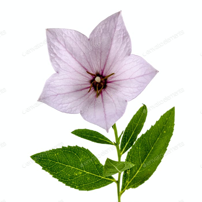 Pink flower of Platycodon (Platycodon grandiflorus) or bellflowe