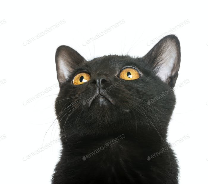 Close-up of a Bombay kitten looking up, isolated on white