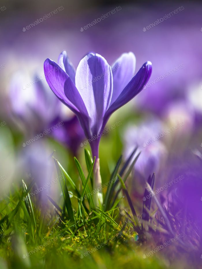 Crocus blooming in first sun of march