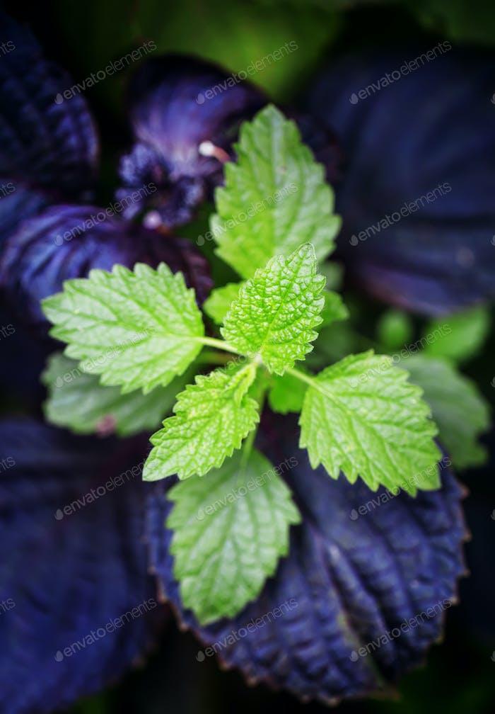 Green and purple leaves, mint or lemon balm