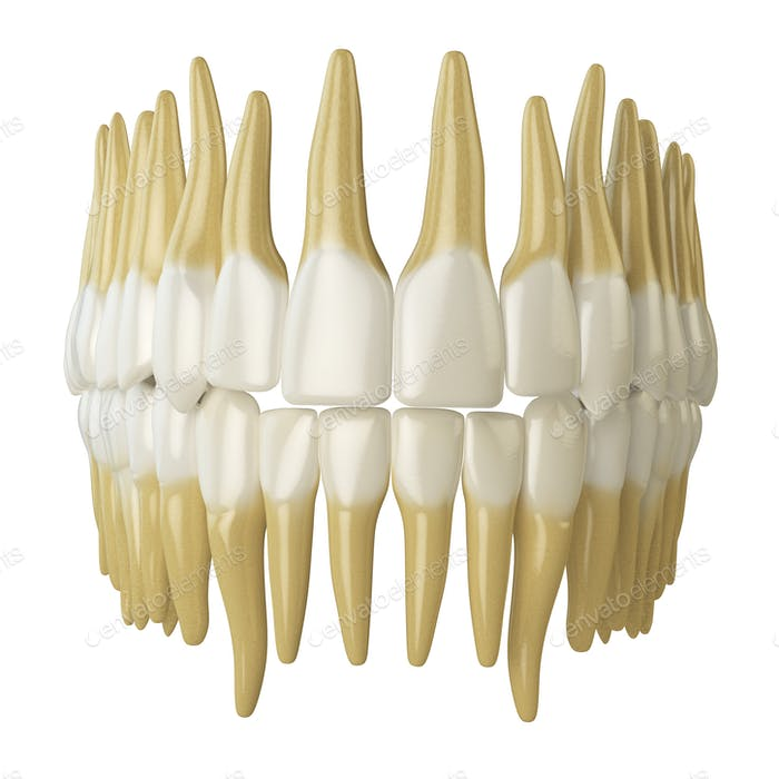 Human teeth  isolated on white.