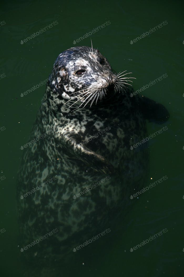 Seal at Fishermans Wharf, Victoria, BC, Canada