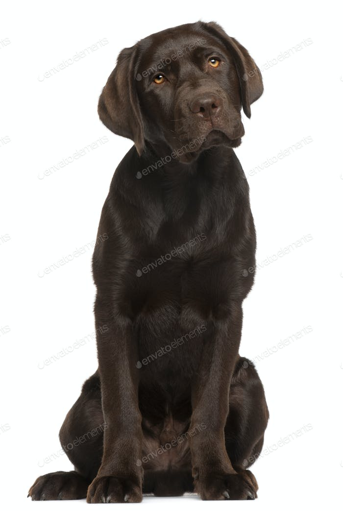 Labrador Retriever puppy, 5 months old, sitting in front of white background