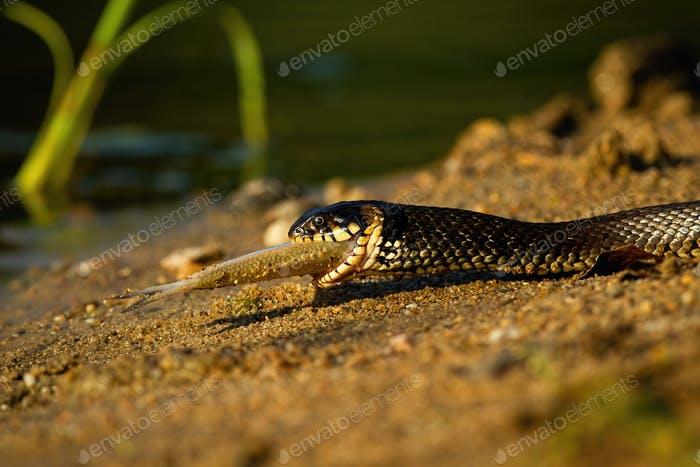 Grass snake holding fish on riverside in summer sunset