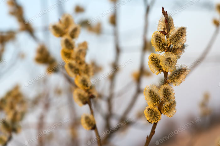 Young fluffy yellow buds on willow twigs