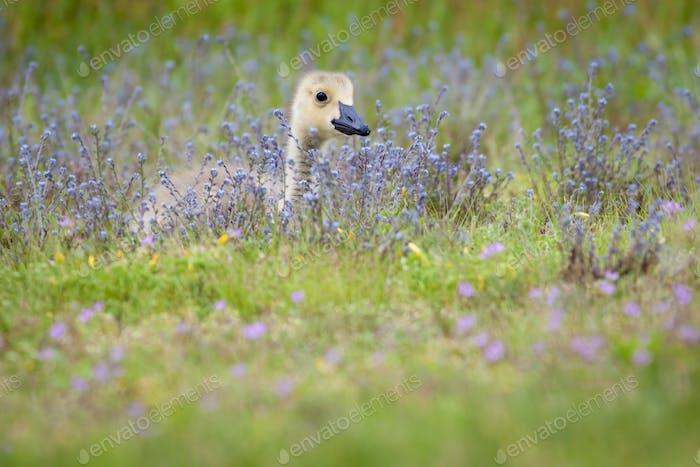 Gosling in a meadow of wild flowers.