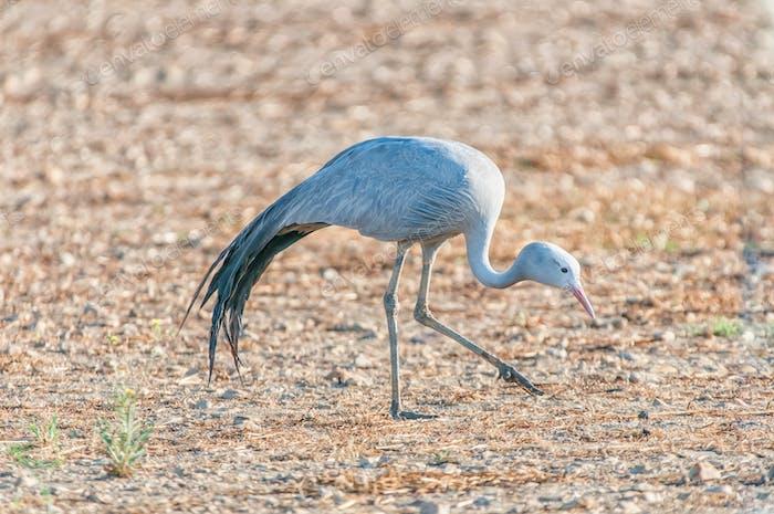 Walking Blue Crane