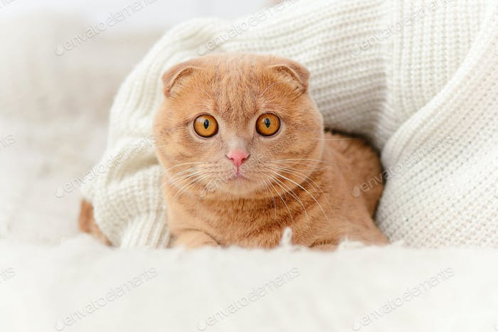Domestic cat Scottish Fold looks at camera.
