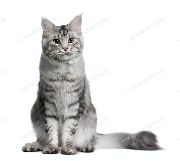 Maine coon, 1 year old, sitting in front of white background