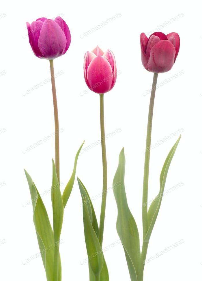 Three tulips flower