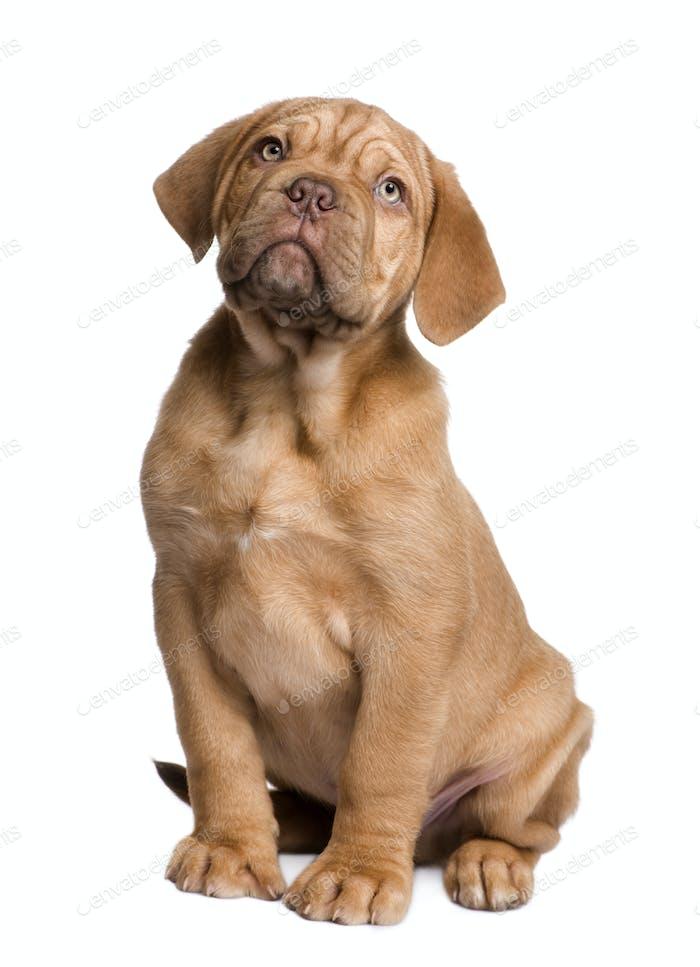 Dogue de Bordeaux Welpe (2 Monate)
